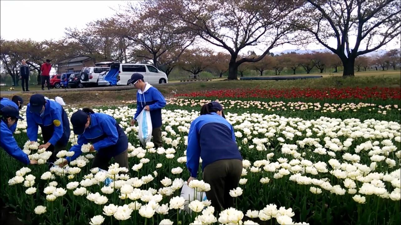 花絵プロジェクト チューリップの花摘み 新潟農業・バイオ専門学校