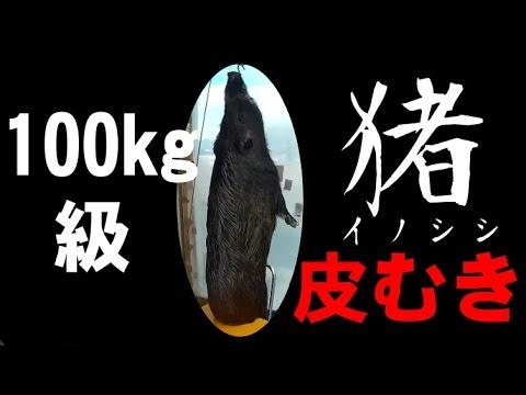 【イノシシの解体】100kg級イノシシ(皮むき編)ハンター、ジビエ、狩猟に興味ある方向け(閲覧注意)《犲BASE》